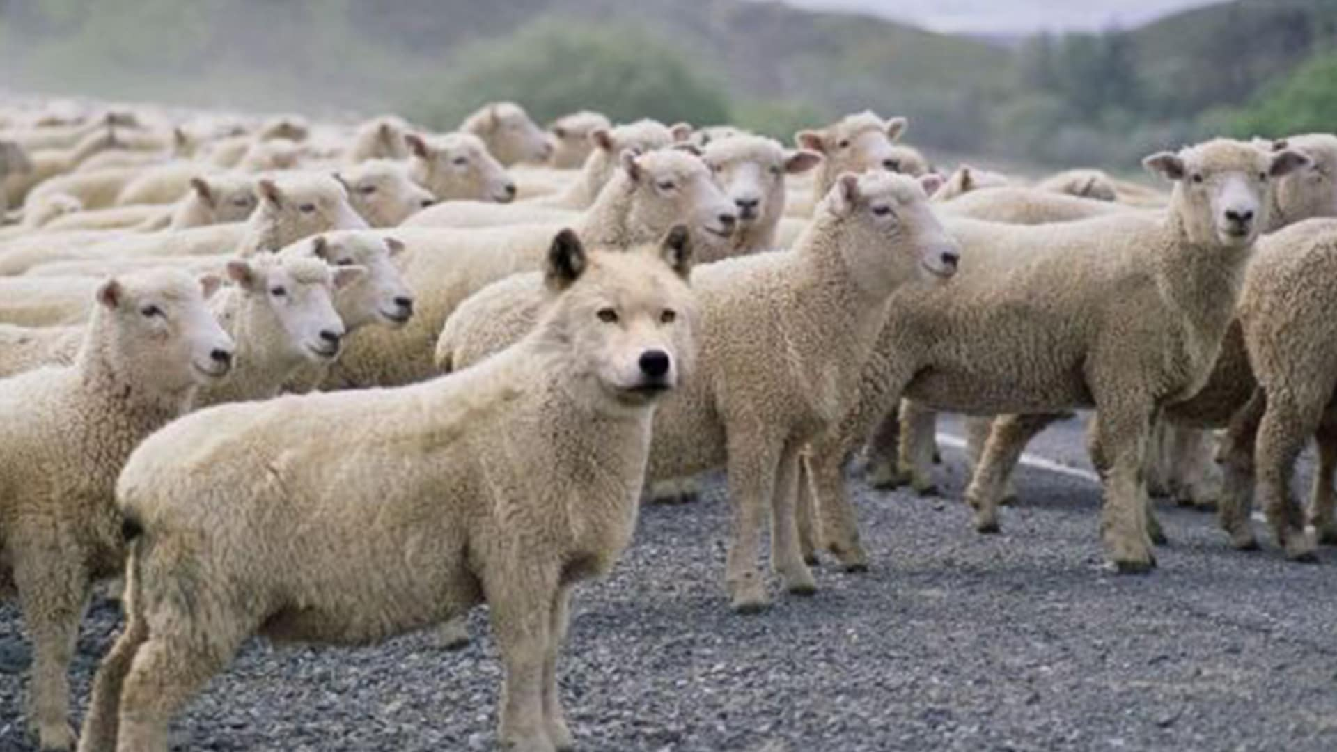Wolf In Sheep's Clothing 2