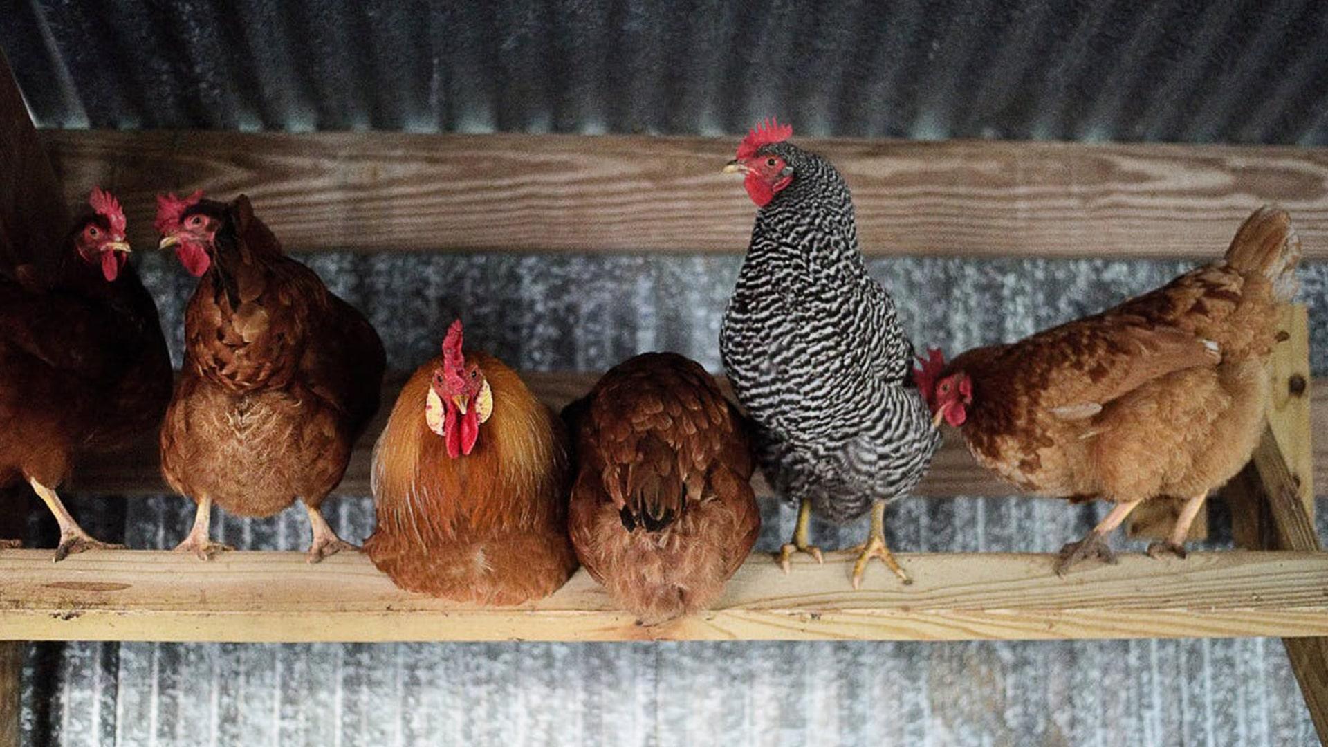 Harvesting Chickens